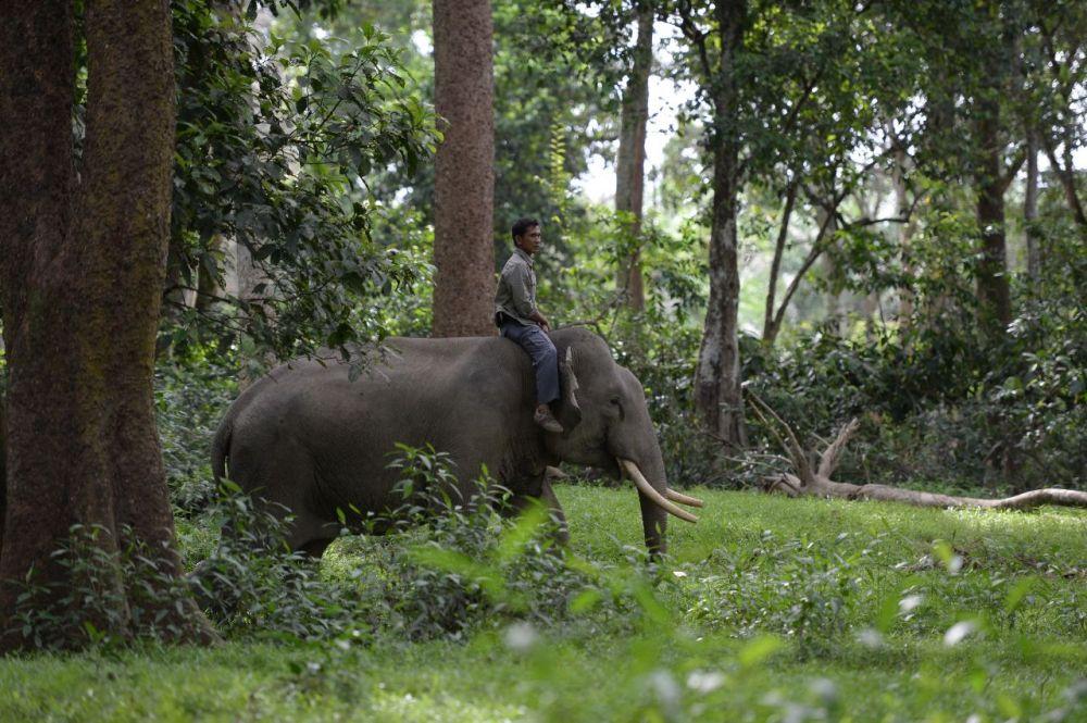 BBKSDA Riau Kerahkan Gajah Jinak Menggiring Gajah Liar di Kebun Sawit Warga