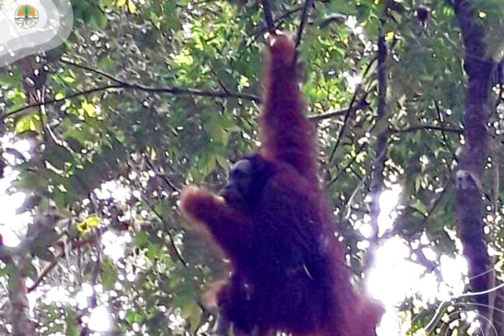 Begini Kisah Pelepasliaran Sun Ghou Kong Orangutan di Riau