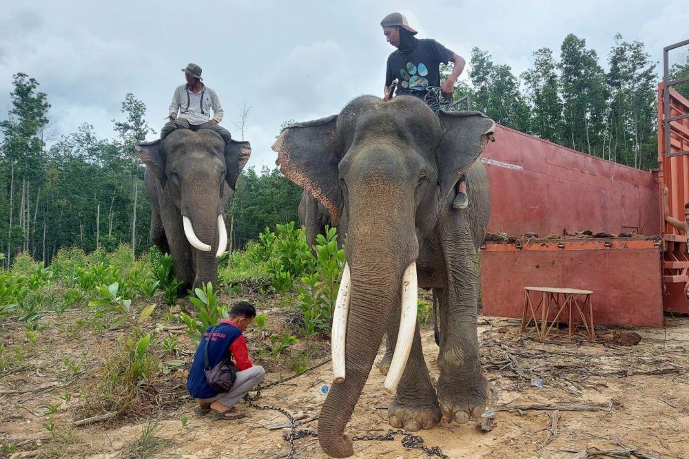 """BKSDA Evakuasi Dua Gajah di Inhu, Diberi Nama """"Kaesang dan Dodo"""""""