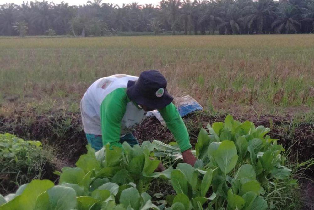 Dibimbing BRGM, Petani di Riau Sukses Olah Lahan Gambut Tanpa bakar