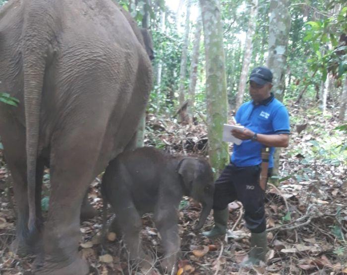Gajah Lisa di TNTN Lahirkan Bayi Jantan