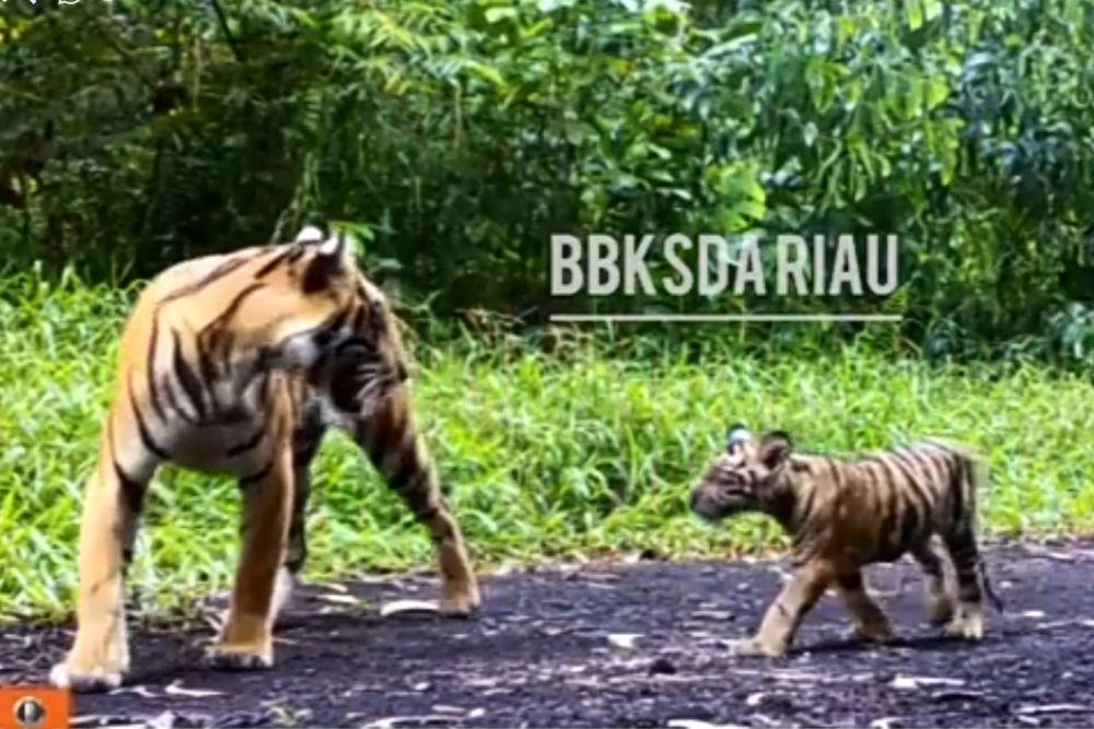 Harimau Sumatera Muncul di Wilayah Indragiri Hilir