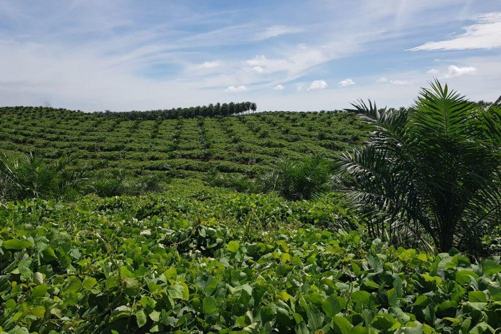 Kisah Tujiman, Merantau dari Jawa ke Rokan Hulu lalu Bangun Kebun Sawit