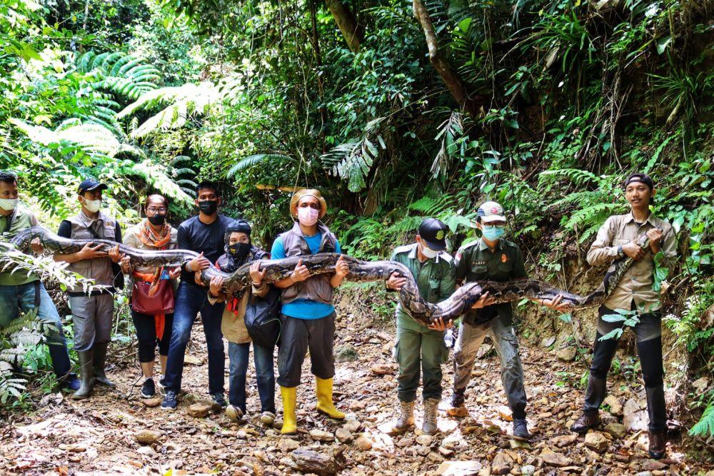 Menegangkan! Inilah Detik-detik BBKSDA Riau Lepasliar Ular Piton 9 Meter