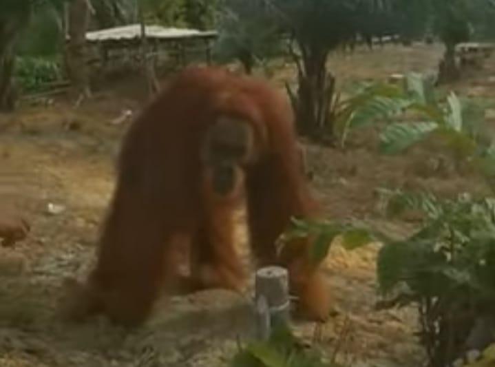 Orangutan Muncul di Perkebunan Warga Aur Cina Inhu