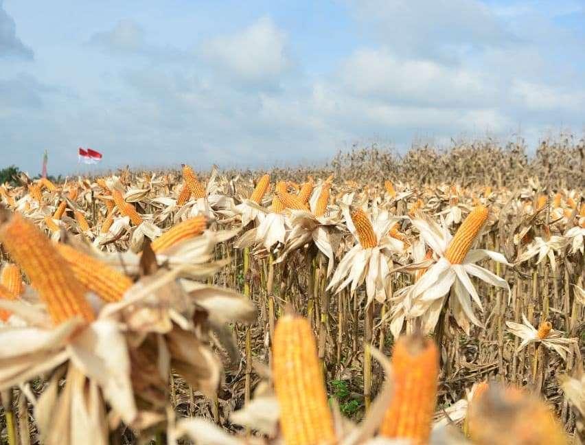 Pertanian Jagung Pipil Hibrida Diharapkan Jadi Pilot Project