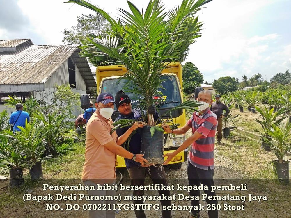 PTPN V Jual 1,1 Juta Bibit Sawit Unggul Via Aplikasi Sawit Rakyat Online