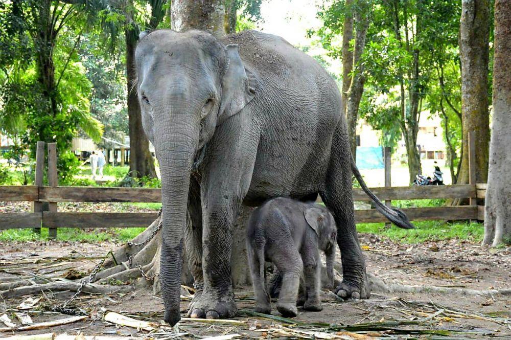 Seekor Bayi Gajah Jantan Lahir di TWA Buluh Cina, Gubri Beri Nama Damar
