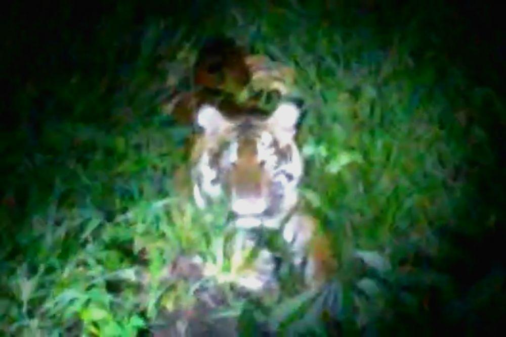 Seekor Harimau Muncul di Permukiman Warga Siak, Begini Penjelasan BBKSDA Riau