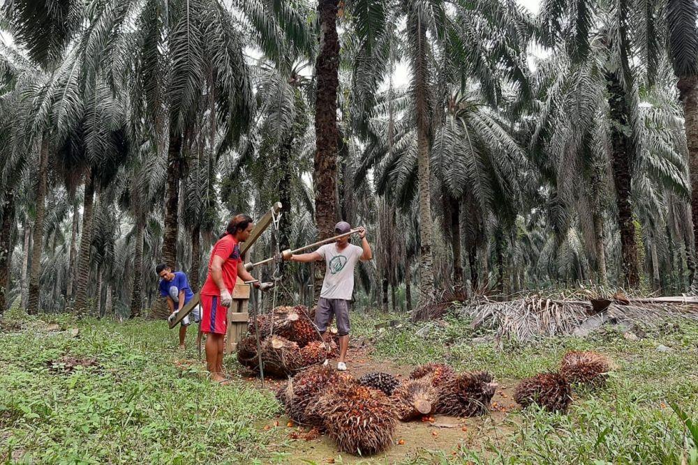 Stok CPO Negara Tujuan Ekspor Banyak, Harga Sawit Riau Turun Pekan Ini