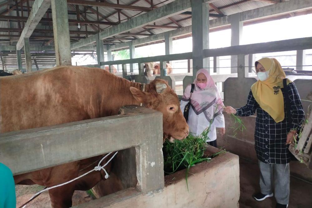 Sudah 28 Ekor Sapi Hewan Kurban ASN Pemprov Riau Terkumpul